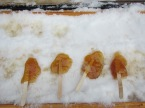 Snow-chilled maple syrup lollipops
