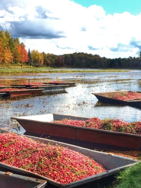 cranberry-bog-harvest-experience