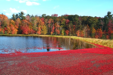 Photo courtesy of Johnston's Cranberry Marsh