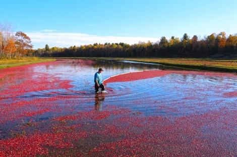 Photo courtesy of Johnston's Cranberry Marsh